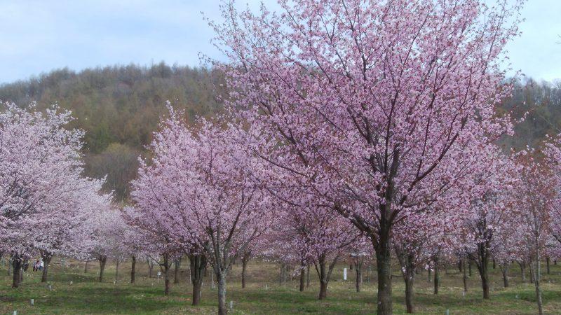 桜をはしごして来ました~